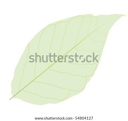 Green simple leave isolated on white.