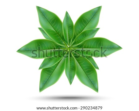 Green tea leaves on a white background  - stock vector