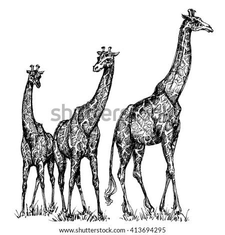 Group of giraffes - stock vector