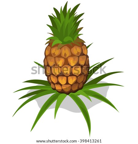 Growth and ripening pineapple. Plants isolated on white background. Agriculture. Vector. - stock vector