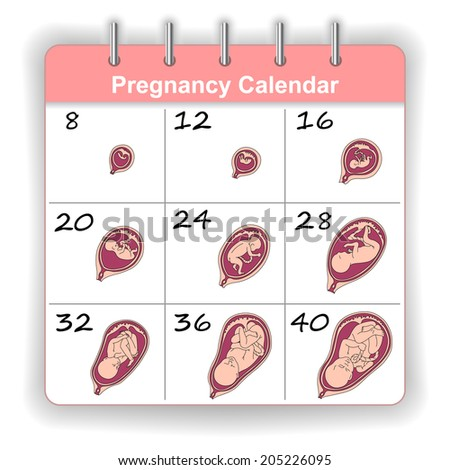 Growth of a human fetus on the weeks calendar in vector - stock vector
