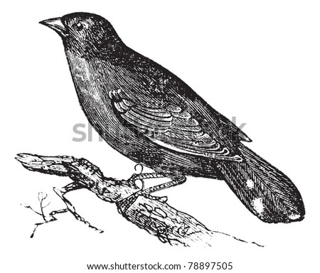 Guianan Red-Cotinga or Phoenicircus carnifex, vintage engraving. Old engraved illustration of Guianan Red-Cotinga waiting on a branch. Trousset encyclopedia (1886 - 1891) - stock vector