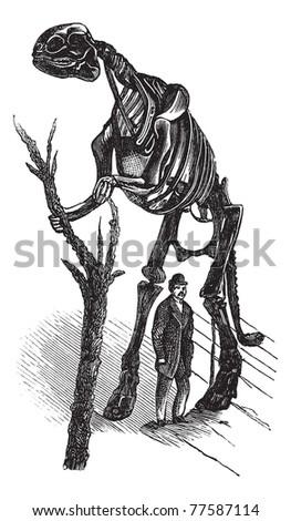 Hadrosaurus skeleton vintage engraving. Old engraved illustration of a man standing by Hadrosaurus skeleton. Trousset Encyclopedia - stock vector