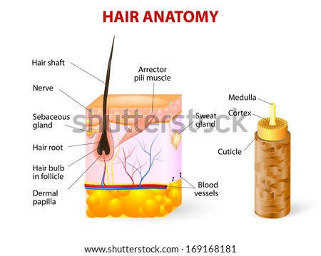 Hair anatomy and hair follicle. Vector diagram. The hair shaft grows from the hair follicle consisting of transformed skin tissue. - stock vector