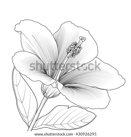 Hand draving Hibiscus flower blossom. vector illustration - stock vector