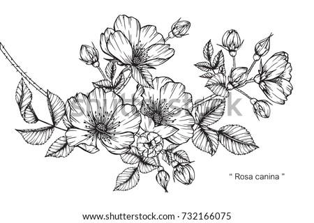 Black And White Flower Drawings Elitadearest