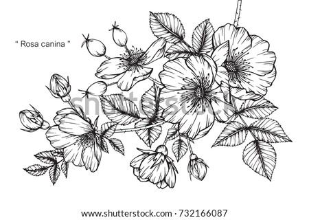 Hand drawing and sketch rosa canina flower black and white with line art illustration