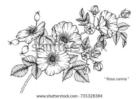 Hand drawing sketch rosa canina flower stock photo photo vector hand drawing and sketch rosa canina flower black and white with line art illustration mightylinksfo Image collections