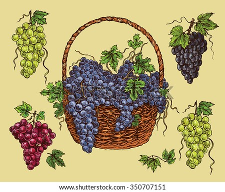 hand drawing  black ,green and red grape - stock vector