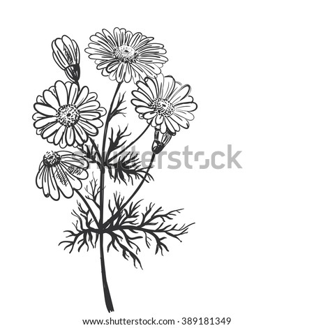 Hand drawing of a flower - camomile pharmaceutical. Light background dark pattern. - stock vector