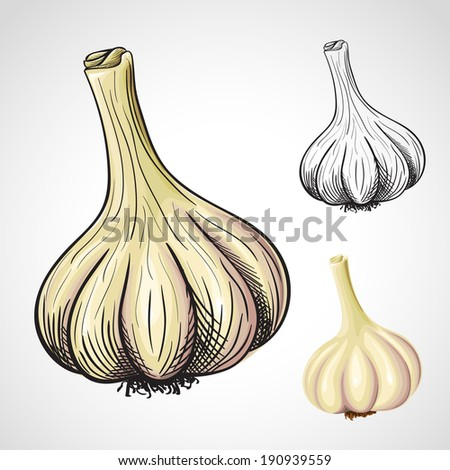Hand drawn artistic illustration of garlic head - stock vector