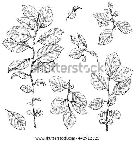 Hand drawn buckthorn branches with leaves and berries.  Vector sketch of plants. - stock vector