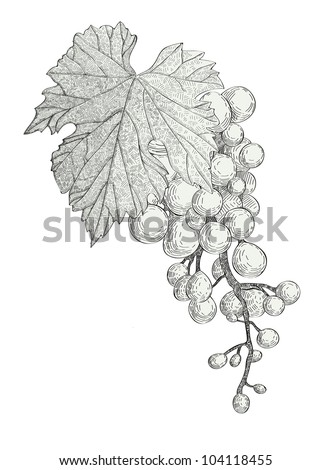 hand drawn bunch of grapes isolated on white background vector - stock vector