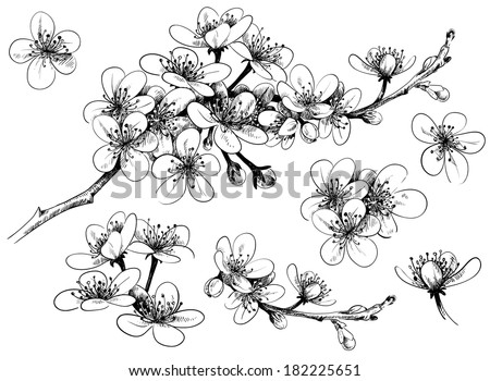 hand-drawn cherry blossom - stock vector