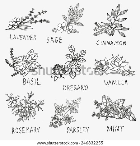 Hand drawn decorative culinary herbs, design elements. Herbs and spices collection. Can be used for cards, invitations, gift wrap, print, scrapbooking. Kitchen theme - stock vector