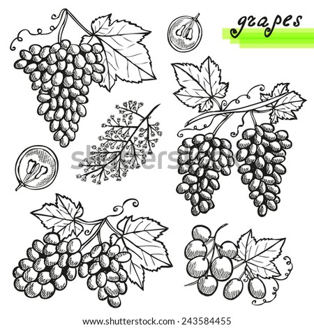 Hand drawn decorative grapes, whole and sliced, and grape flower. Design elements. Can be used for cards, invitations, scrapbooking, print, manufacturing  - stock vector