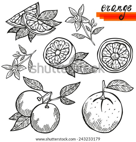 Hand drawn decorative orange fruits, whole and sliced, and orange flower. Design elements. Citrus fruits. Can be used for cards, invitations, scrapbooking, print, manufacturing  - stock vector