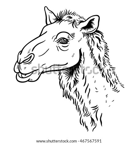 Hand drawn detailed illustration of camel's head. High quality anatomic and realistic image. Black and white picture.
