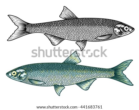 Hand Drawn detailed Pilchard (Sardine). Vector illustration
