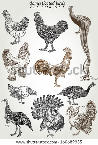 hand drawn domesticated birds vector set - stock vector