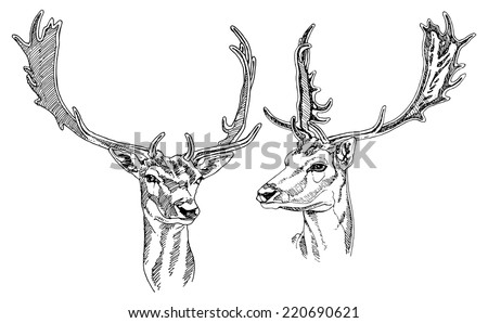 Hand drawn Fallow Deer heads. Vector illustration. - stock vector