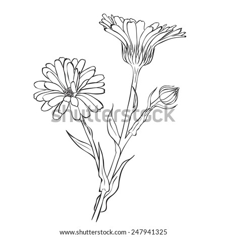 Hand drawn flowers - Calendula officinalis or pot marigold. Ink style drawing - stock vector