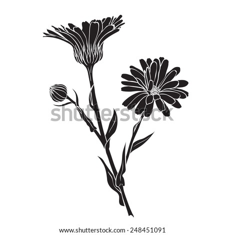 Hand drawn flowers - Calendula officinalis or pot marigold silhouette - stock vector