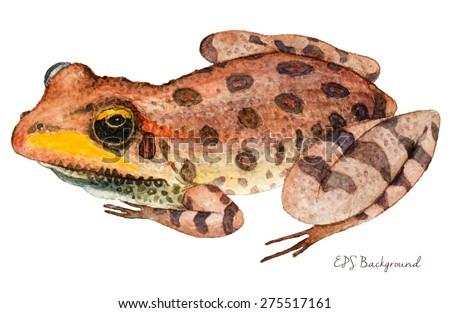 Hand Drawn Frog, Watercolor Sketch, Animal Vector Illustration. - stock vector