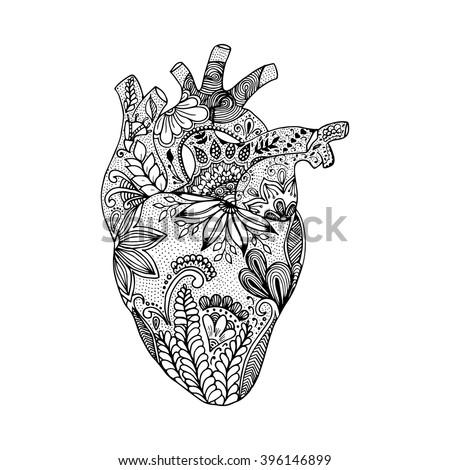anatomical heart stock photos  royalty