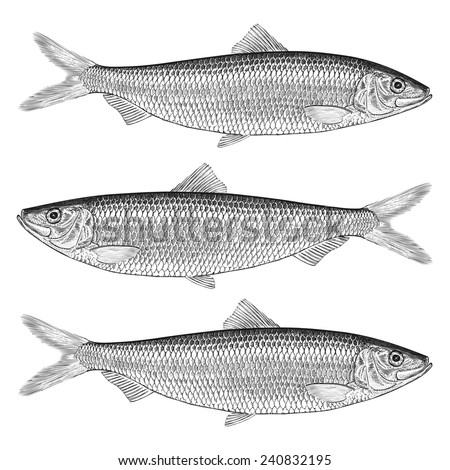 Hand Drawn Illustration of a Herring - stock vector