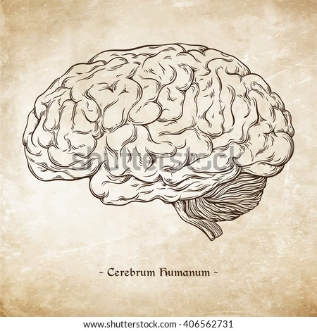 "Hand drawn line art anatomically correct human brain. Da Vinci sketches style over grunge aged paper background vector illustration. Enscription is latin term ""human brain"""