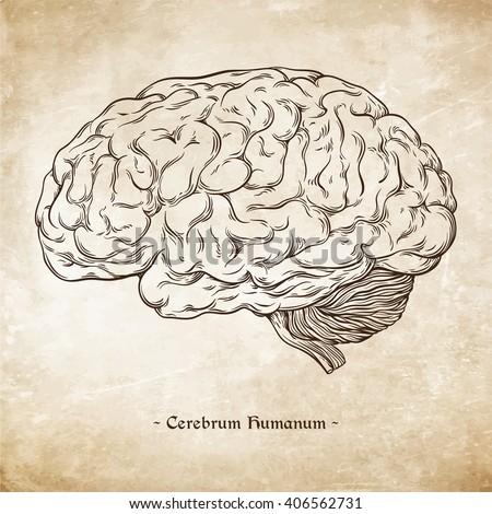 "Hand drawn line art anatomically correct human brain. Da Vinci sketches style over grunge aged paper background vector illustration. Enscription is latin term ""human brain"" - stock vector"