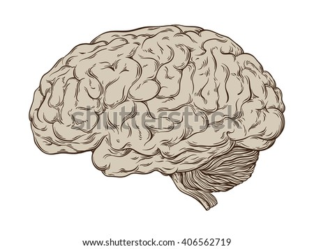 Hand drawn line art anatomically correct human brain. Isolated over white background vector illustration.