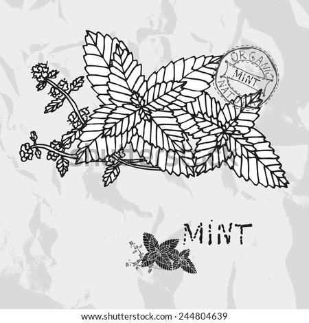 Hand drawn mint plant with flowers, design elements. Culinary spices. Can be used for cards, invitations, gift wrap, print, scrapbooking. Kitchen theme - stock vector