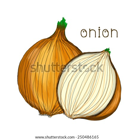 Hand drawn onion isolated on white background. Vector version - stock vector