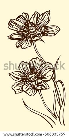 Hand drawn outline cosmos flowers in vintage style. isolated Vector illustration. Two Beautiful  flowers.  botanical illustration