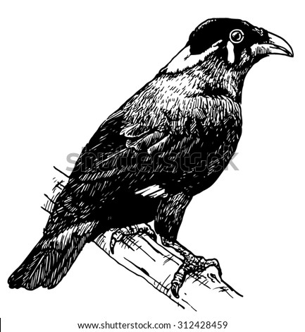 Hand drawn sketch of a Hill Mynah perched on a branch