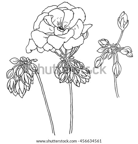 hand drawn sketch of geranium with flowers buds leaves vector format