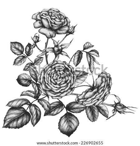 Hand drawn tea-rose flowers. - stock vector