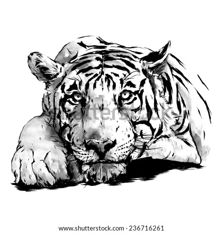 Hand Drawn Tiger, Watercolor Sketch, Vector Illustration.  - stock vector