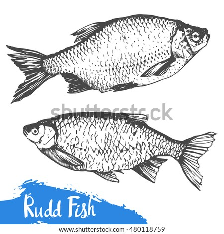 Hand drawn vector illustration with rudd fish. Market. Seafood menu. Brush calligraphy elements for your menu design. Handwritten ink lettering.