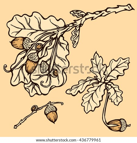 hand drawn vintage Set oak branches with leaves and acorns on a white background. Stock vector illustration with Oak and Acorn. oak sprout. sprouting acorn. - stock vector