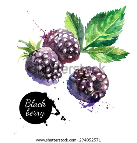 Hand drawn watercolor painting blackberry on white background. Vector illustration of berries - stock vector