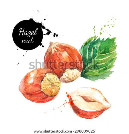 Hand drawn watercolor painting nut on white background. Vector trace illustration of hazelnut - stock vector