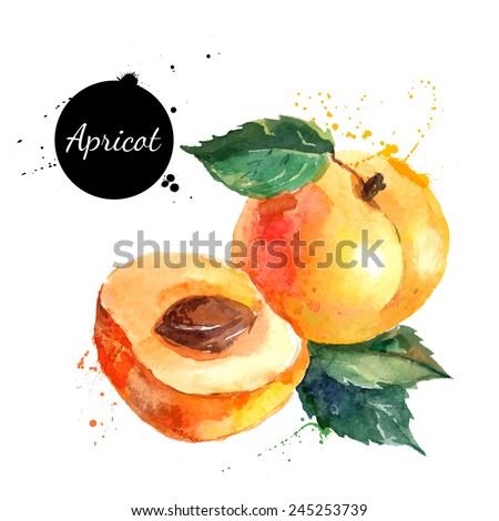 Hand drawn watercolor painting on white background. Vector illustration of fruit apricot - stock vector
