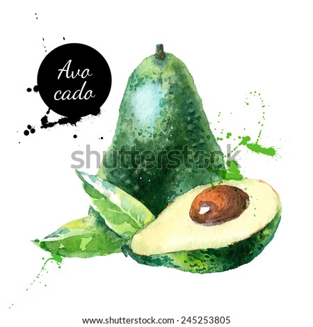 Hand drawn watercolor painting on white background. Vector illustration of fruit avocado - stock vector