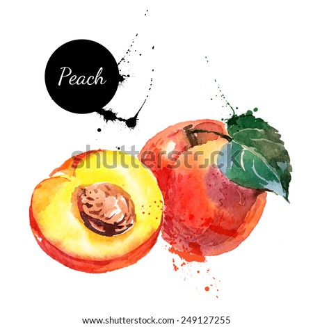 Hand drawn watercolor painting on white background. Vector illustration of fruit peach - stock vector