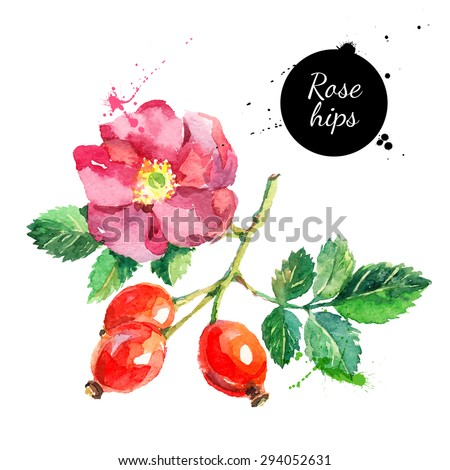 Hand drawn watercolor painting rose hips on white background. Vector illustration of berries - stock vector