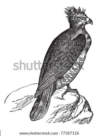 Harpy (thrasaetus harpyia) vintage engraving. Old engraved illustration of harpy eagle. Trousset Encyclopedia. - stock vector