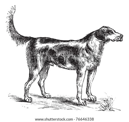 Harrier or Canis lupus familiaris, vintage engraving. Old engraved illustration of a Harrier. - stock vector